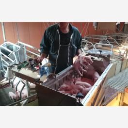 Chariot de soins aux porcelets – Porti'Cochons